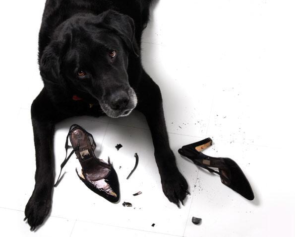 dog eating high heel shoes